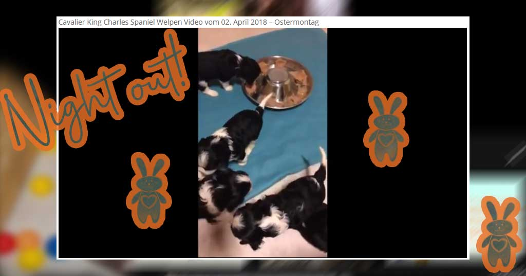 Cavalier King Charles Spaniel Welpen Video 29 vom 02. April 2018 – neu