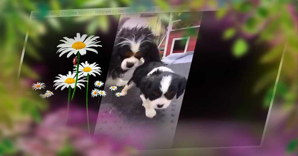 Cavalier King Charles Spaniel Welpen Video 36 neu vom 09. April 2018