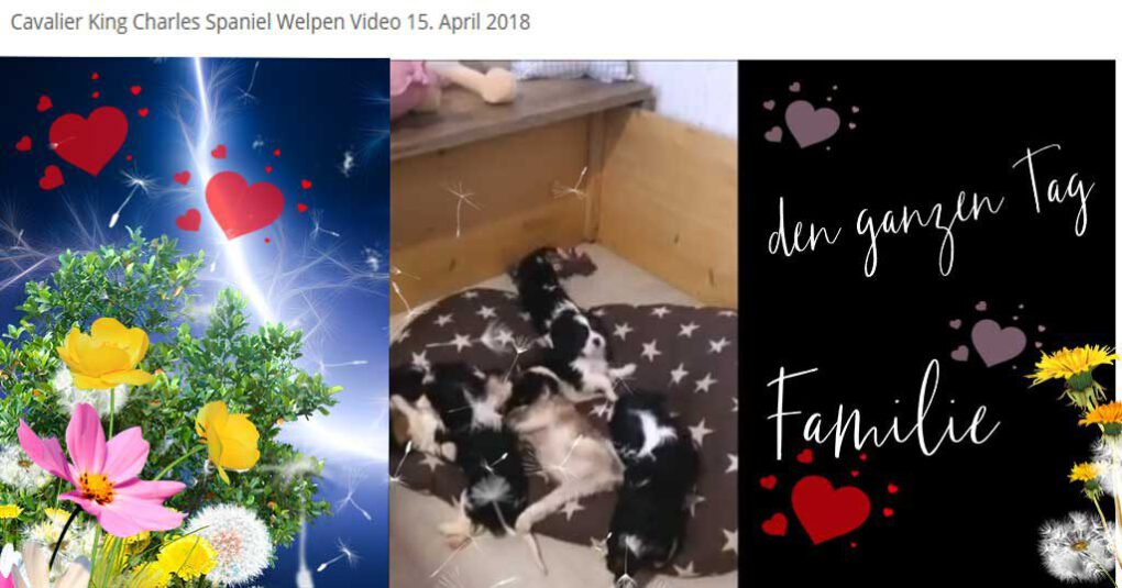 Cavalier King Charles Spaniel Welpen Video 42 neu vom 15. April 2018